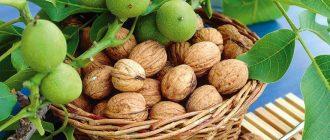 Грецкий орех от простатита и аденомы простаты