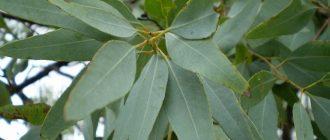 Ветка эвкалиптового дерева