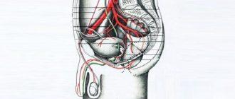 Схематическое изображение кровоснабжения органов малого таза мужчины